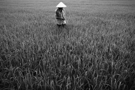 VIET NAM. A farmer checks his rice to determine the best time for harvesting.