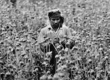 VIETNAM. Hmong (Meo). Poppy fields.